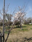 ライオンズの森の桜 (HP使用分).JPG